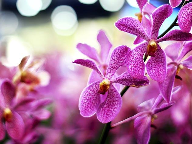 Rose Orchidée