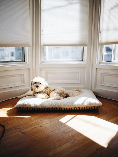 Perro sentado frente a las ventanas de un piso