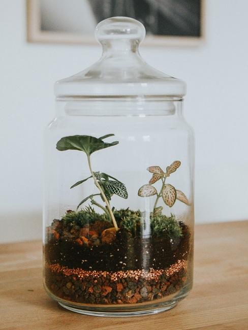 Aufbewahrungsglas mit Pflanzen als Terrarium auf einer Ablagefläche aus Holz