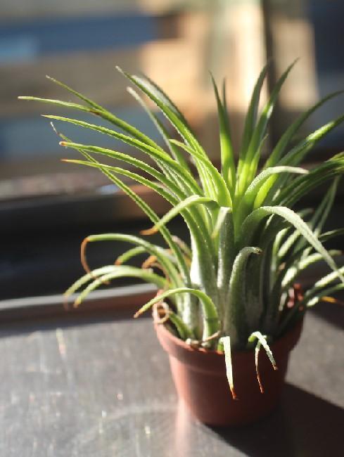 Broméliacée décoratif ensoleillé sur le bord d'une fenêtre
