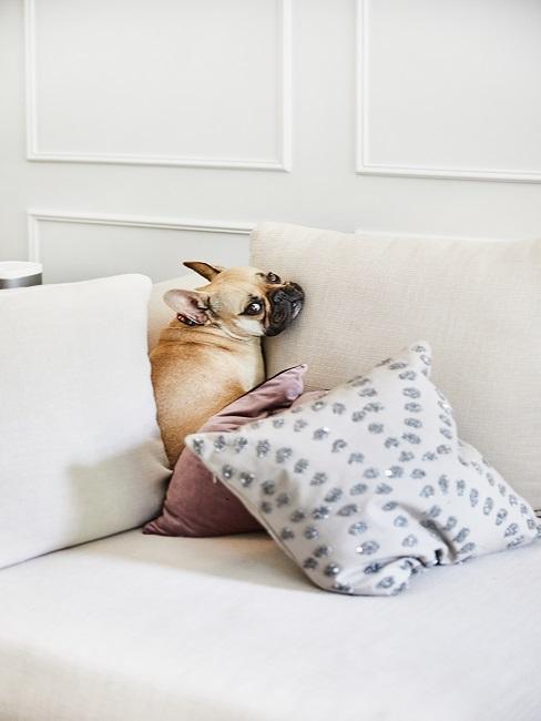 Französische Bulldogge sitzt auf der Couch im Wohnzimmer.