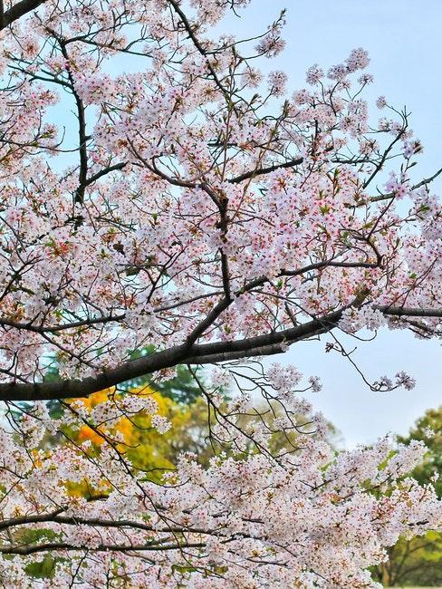 giardino giapponese ciliegio
