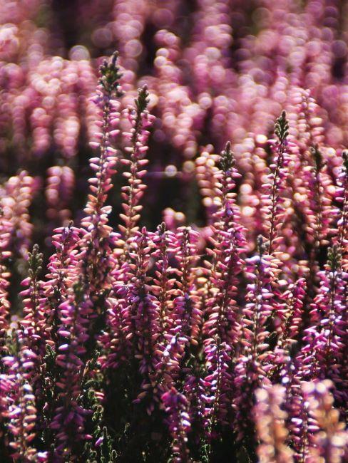 piante sempreverdi da vaso erica