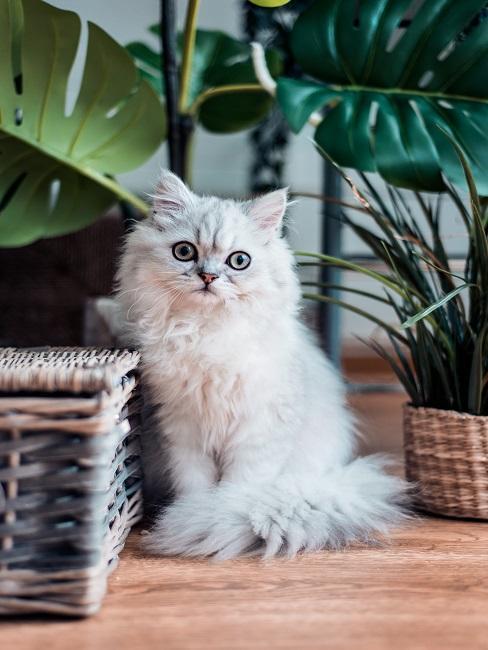 Baby-Katze in Weiß sitzt neben einem Korb aus Bast