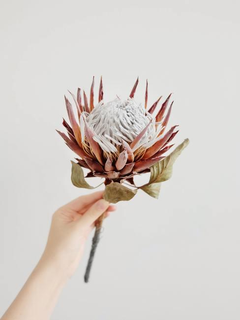 Mano sujetando una flor roja protea