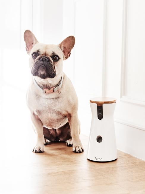 Bulldog francés con bebedor