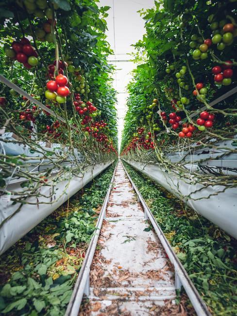 Huerto de tomates en invernadero