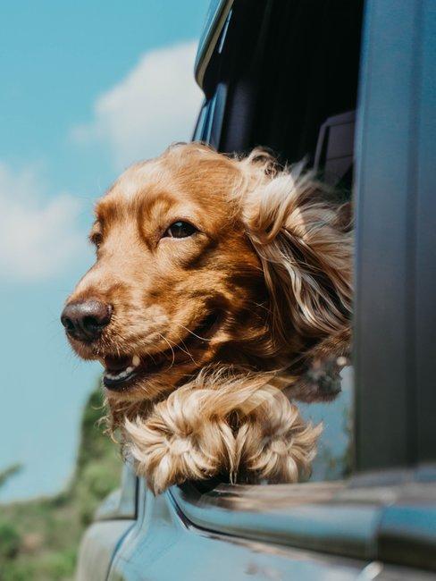 Bruine hond uit autoraam