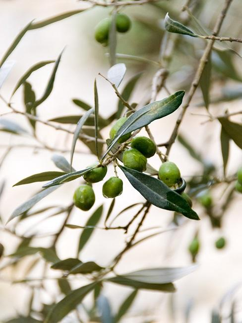 Olijfboom met olijven