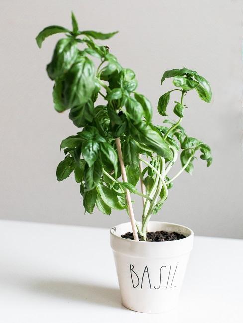 Basilicum plant in witte pot