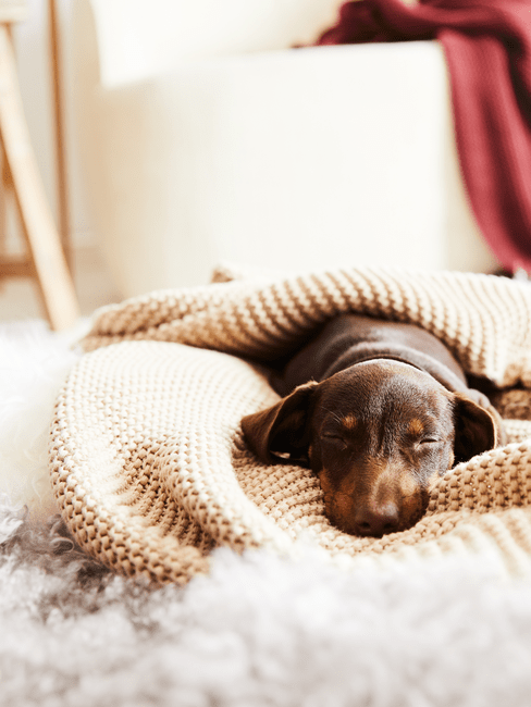 Pies leżący na dywanie pod kocem na podłodze