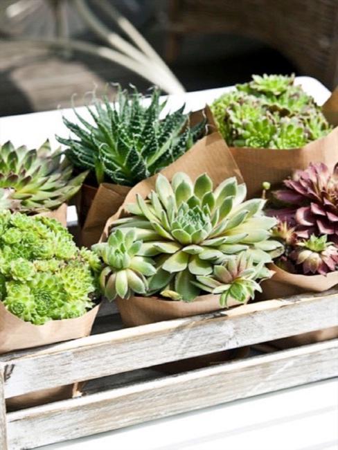 Piantine grasse succulenti