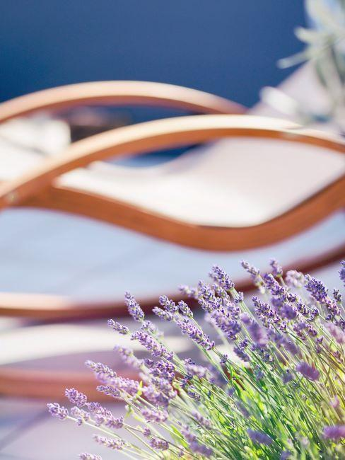 gros plan des fleurs de lavande