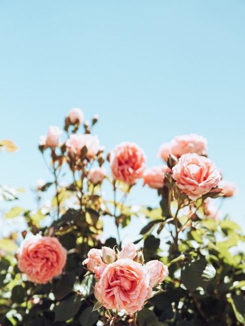 rose per aiuole da giardino