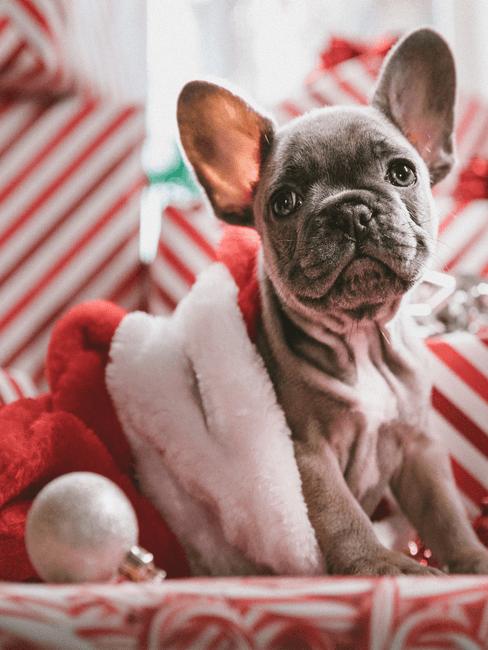Franse bulldog in kerstmuts