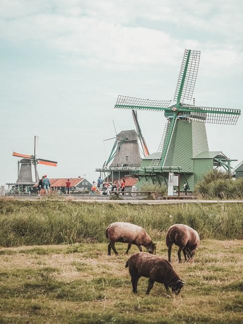 Fietsvakantie schapen in veld met windmolens op de achtergrond