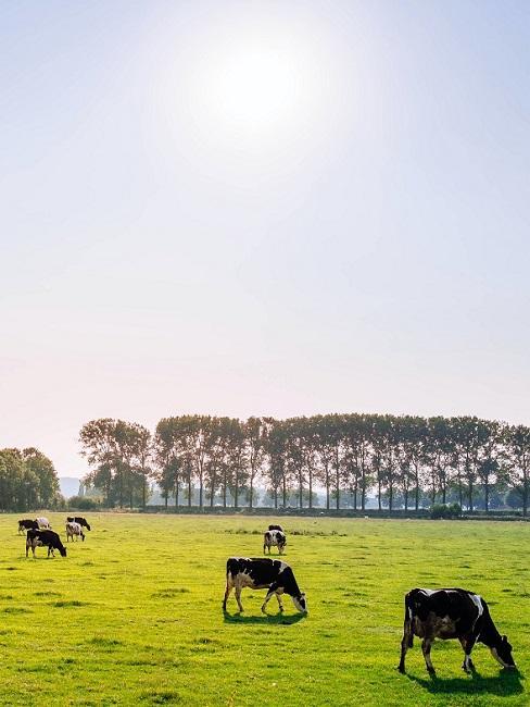 Veld met grazende koeien en bomen op de achtergrond