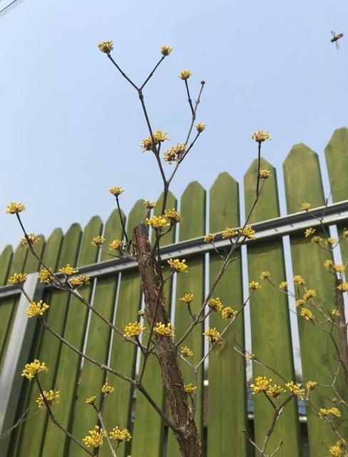 Kwitnący krzew na tle zielonego płotu