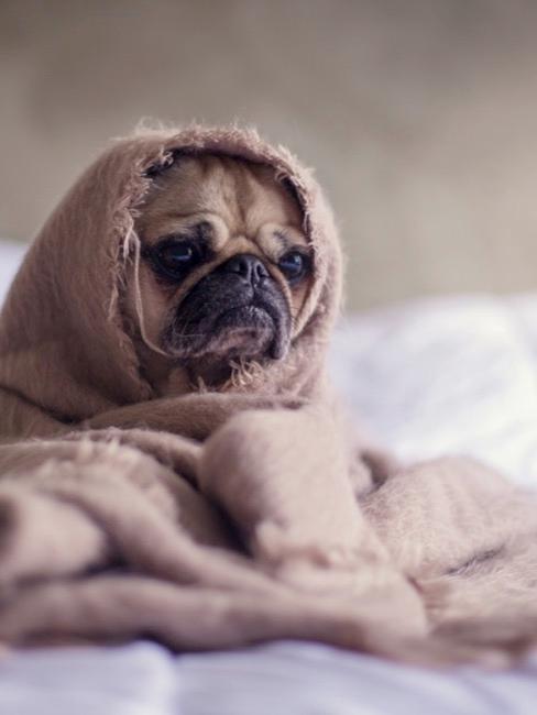 Hond pug met kleed om zich heen