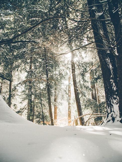 Verschneide Bäume im Wald mit Sonnenlicht, dass durch die Nadeln scheint