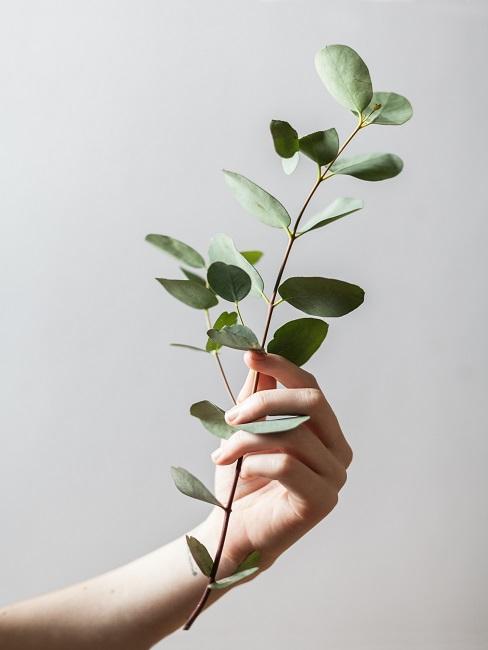 Ast dekorieren Eukalyptus in der Hand