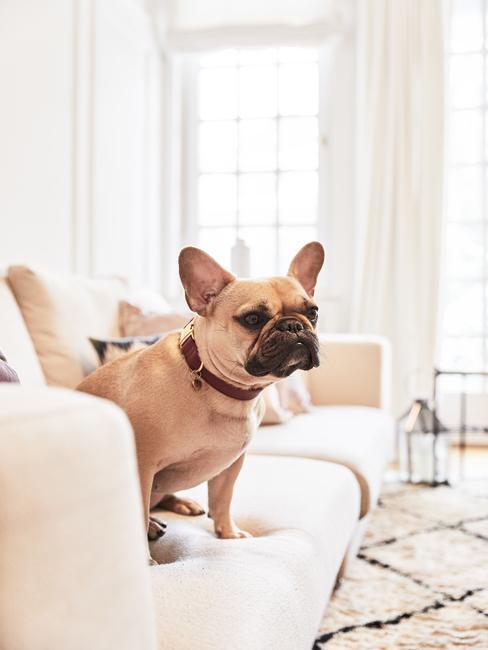 Sofá beige con bulldog francés