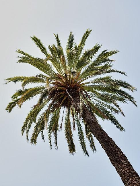 Boomsoorten palmboom van onder gefotografeerd