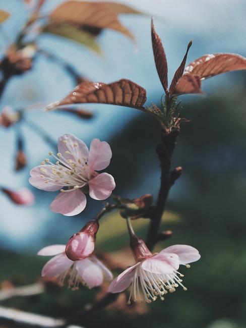 Boomsoorten roze bloesemboom worden appels