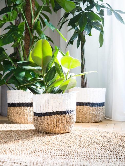 Rośliny w biało-beżowych osłonach na doniczki, stojące na dywanie