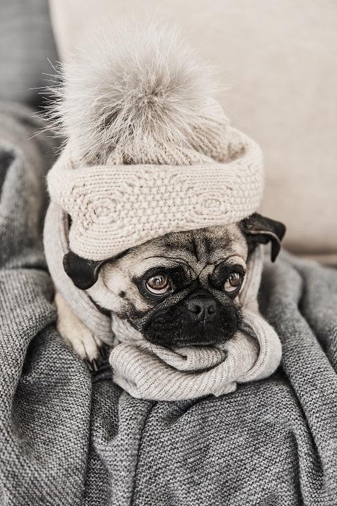 Mops mit Mütze und Schal auf einer Couch im Wohnzimmer