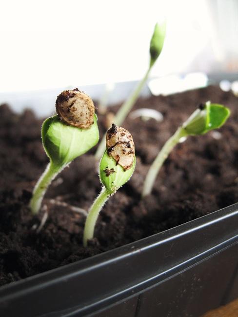 Indoor Garten Pflanzensprösslinge aus Erde