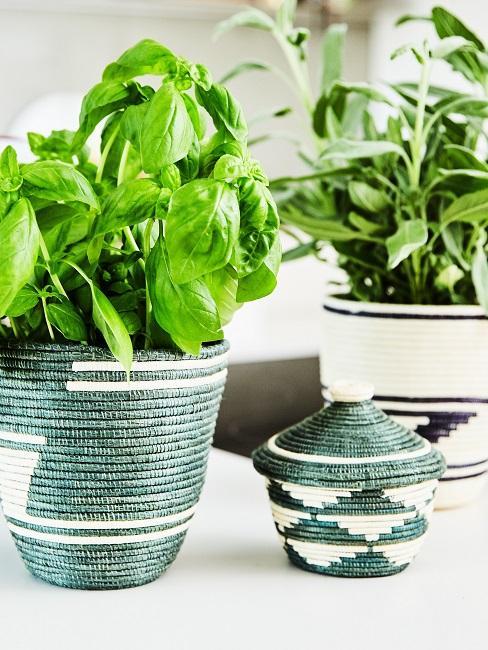 Indoor Garten in schönen Töpfen in der Küche