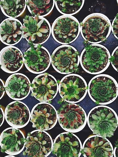 Viele kleine gefüllte Blumentöpfe