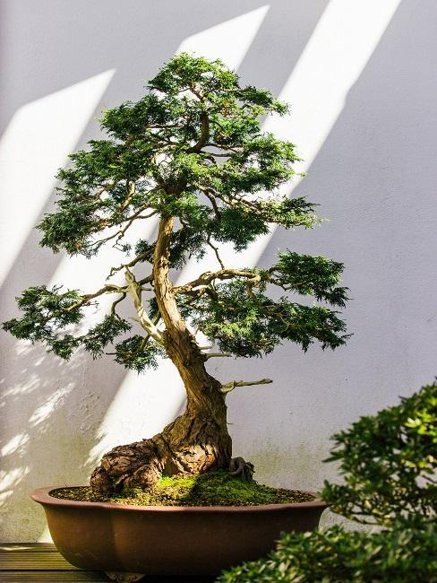 Japanischen Garten anlegen Bonsai in Übertopf