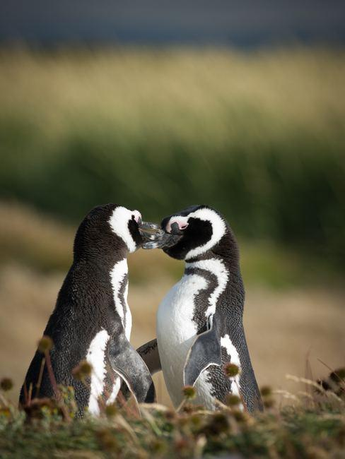 Couple de pingouins qui se font un bisous