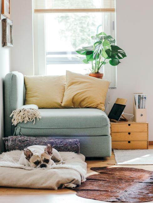 séjour avec fauteuil menthe, 2 oreillers jaunes dessus, un chien allongé devant;, une plante à la fenêtre