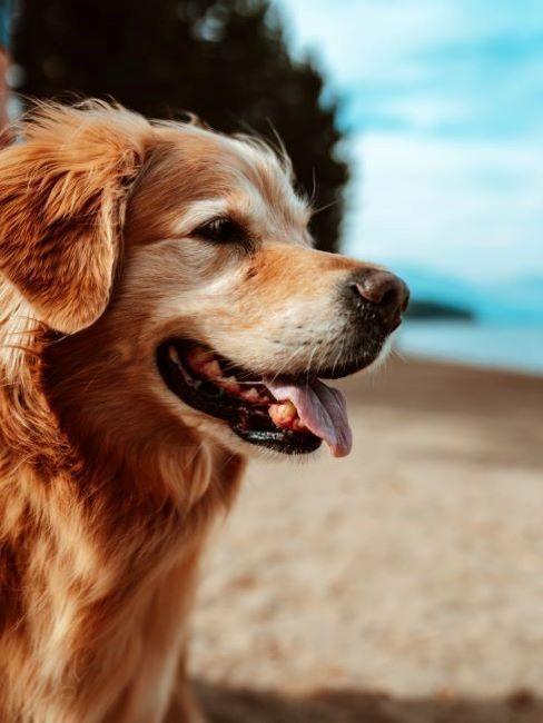 golden retriever in spiaggia