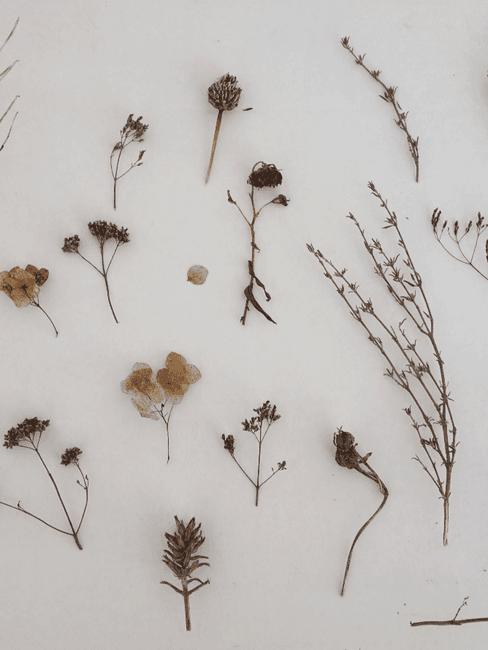 Donkere droogbloemen op witte achtergrond