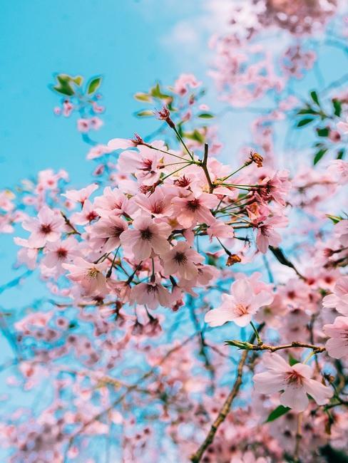 Roze bloesemboom met roze bloesem