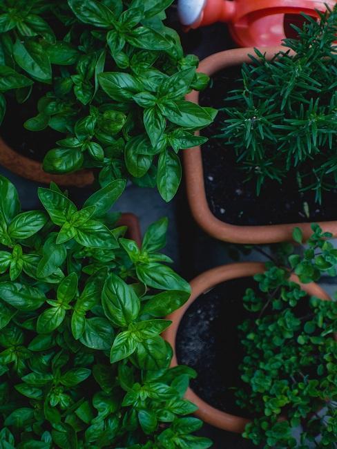 Basilicumplanten in pot van boven