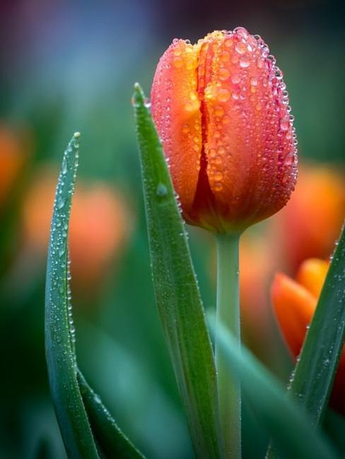 Innaffiare i tulipani