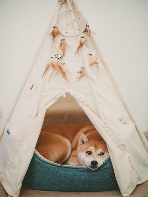 Pies leżący na posłaniu w namiocie typu tipi