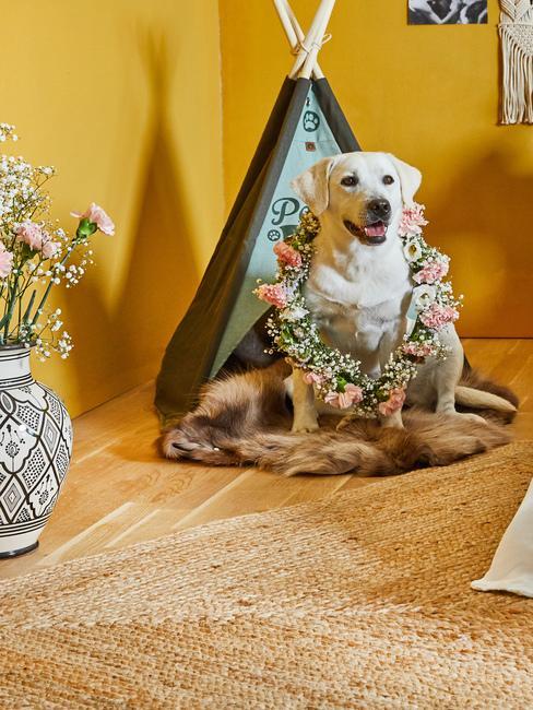 Labrador stojący przed swoim posłaniem w żółtym pomieszczeniu