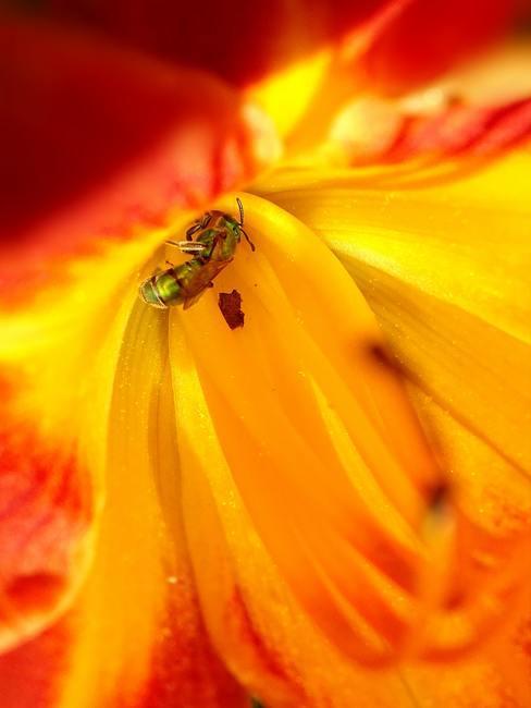 Abeja polinizando una flor de color miel