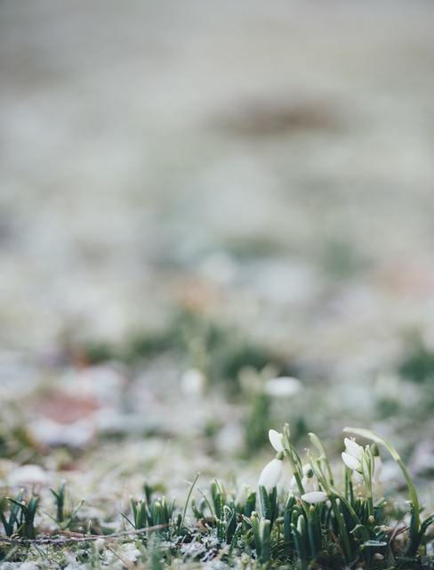 Przebiśniegi na trawie