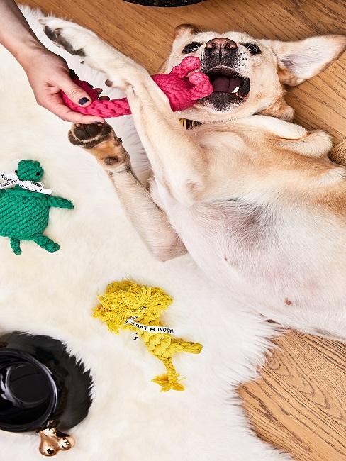 Hund auf dem Boden neben Lammfell beim Spielen