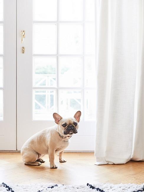 Frenchie Weibchen im Wohnzimmer vor dem Fenster