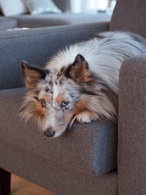 Hunde fotografieren Sessel Blick