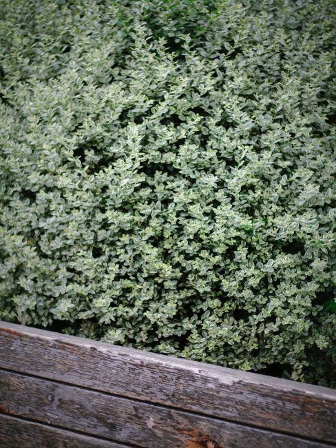 arbuste a feuillage vert clair