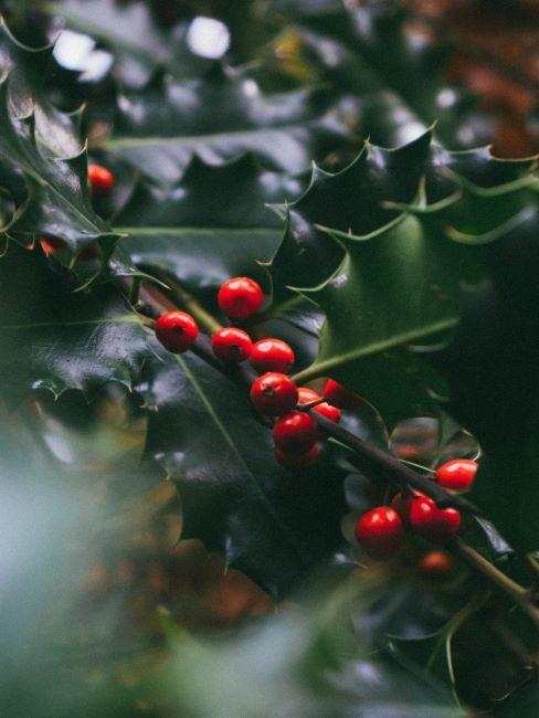 grand plan d'un arbustes aux fruits rouge vif